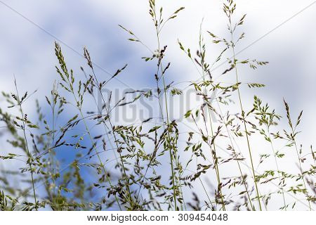 Poa Angustifolia, Poa Annua, Annual Bluegrass, Poa Pratensis, Commonly Known As Kentucky Bluegrass,