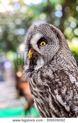 great gray owl (Strix nebulosa)  Portrait  close up poster