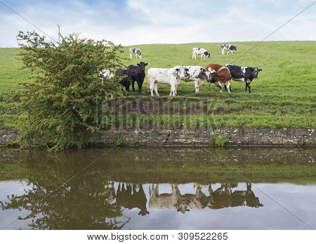 Landscape View Of English Rural Countryside Scenery With Herd Of Friesian Domestic Cattle Livestock