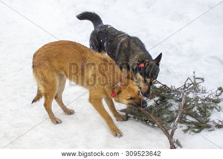 Two dogs, red and black, gnaw one fir branch in winter. Dogs with chips on their ears, outbred grafted chipped animals. Games dogs in the winter, chipped ears poster