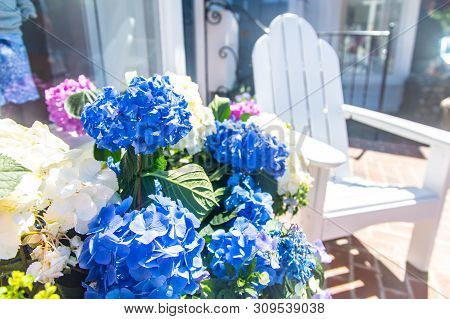 Hydrangea Plant With Adirondack Chairs Downtown Edgartown On Martha's Vineyard, Massachusetts, Usa