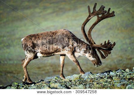 Reindeer With Big Antlers, Jotunheimen Mountains, Norway