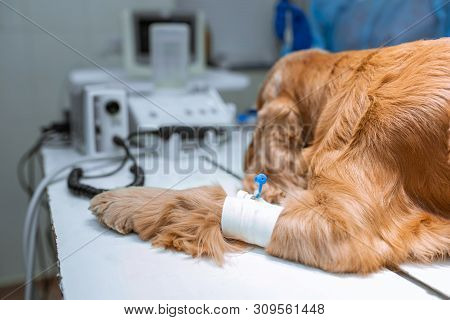 A Dog With A Catheter In Its Paw Is Lying On The Operating Table In A Veterinary Clinic. A Cocker Sp