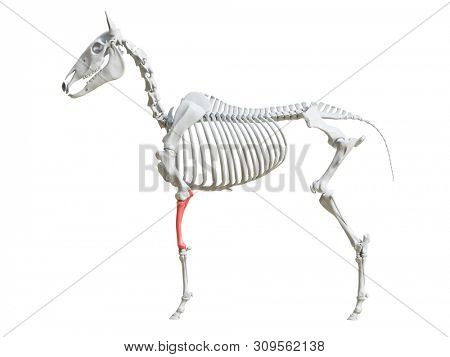 3d rendered medically accurate illustration of the equine skeleton - radius