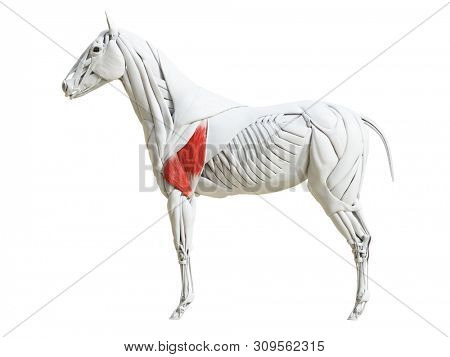 3d rendered medically accurate illustration of the equine muscle anatomy - triceps brachii