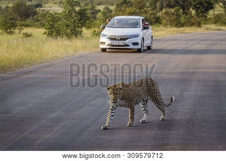 Kruger National Park, South Africa - March 15, 2018 : Leopard Crossing Safari Road In Front Of Touri