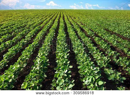Field Of Young Shoots Of Soy. Thick Rows Of Soybean Plants Growing In A Field In The Rays Of The Sun