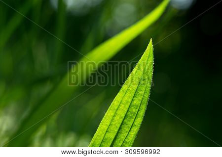 Medicinal Herb leav Plantain lanceolata (Plantago lanceolata) poster