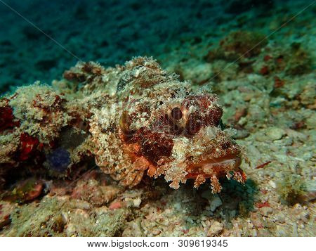 Closeup And Macro Shot Of An Aggressive Reef Scorpionfish Or Also Known As The Rockfish Or Stonefish