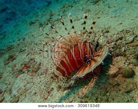 Closeup With The Lionfish And Also Called Zebrafish, Firefish, Turkeyfish, Tastyfish Or Butterfly-co