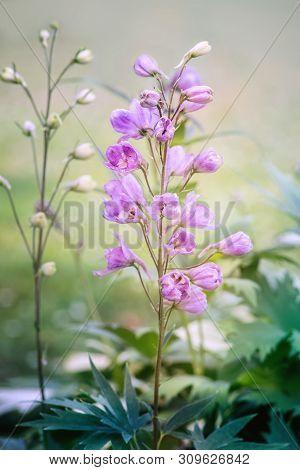Delphinium Elatum Flower Blossoms In Summer. Close Up.