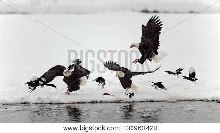 Bald Eagles And Magpies.