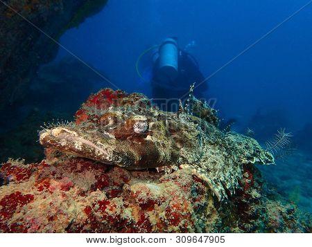 Closeup And Macro Shot Of The Crocodile Fish During A Leisure Dive In Mabul Island, Semporna, Tawau,