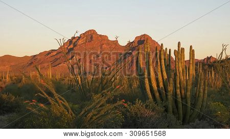 Sunset At Organ Pipe Cactus National Moument In The Ajo Mnts