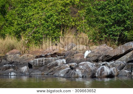 Smooth-coated Otter (lutrogale Pers) Family Basking In Sun On Rocks After Taking Dip In Water Of Cha