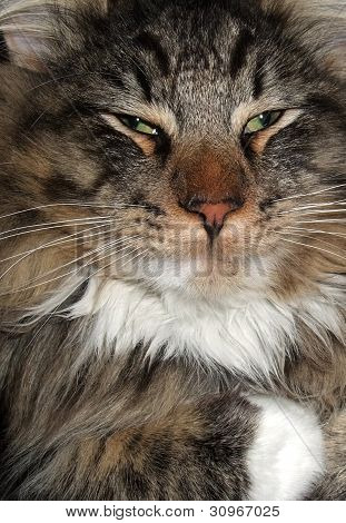 Dozy Cat Portrait