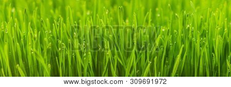 Fresh Wheatgrass Plant Organic For Squeeze Juice, Nutritious Homegrown Wheatgrass, Green Wheat Sprou
