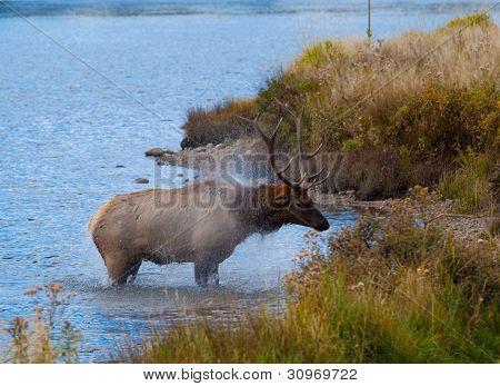 Bull Elk Exiting Lake