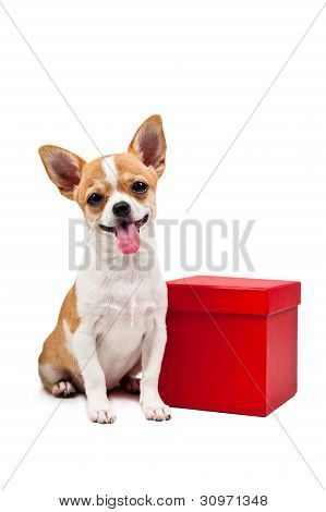 Pomeranian Dog Next To An Red Present Box