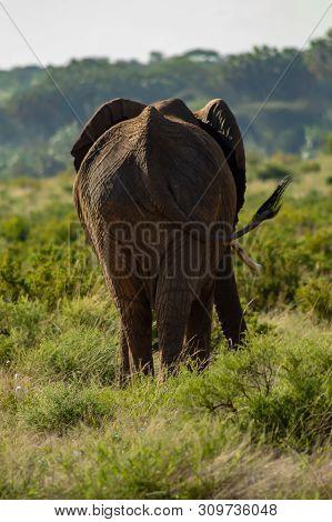 Elephant From Behind. An African Bush Elephant In The Grass In Samburu Park, Kenya, Seen From The Ba