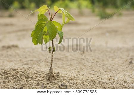 Afforestation. Young Tree Planted Regrowth On Plot With Sandy Soil.