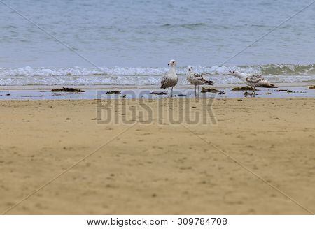 Disclaimer Of 3 Seagulls (laridae) In A European Beach