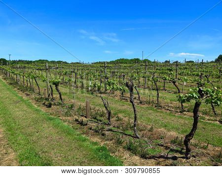 Vineyard In England. Vineyard In The Weald In Kent In England. Early Summer Vines. Rows Of Grapevine