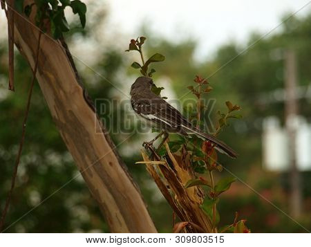 A Mockingbird In A Crepe Myrtle Tree Just Off Mockingbird Lane Where It Crosses White Rock Creek As