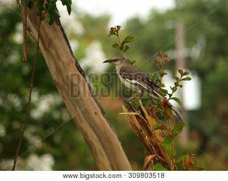 A Mockingbird Songbird Sits In A Red Crepe Mytrle Tree. It Catches Insects That Are In The Canopy Of