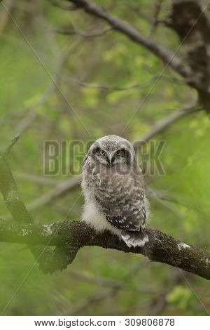 Young And Still Flightless Northern Hawk-owl (surnia Ulula)