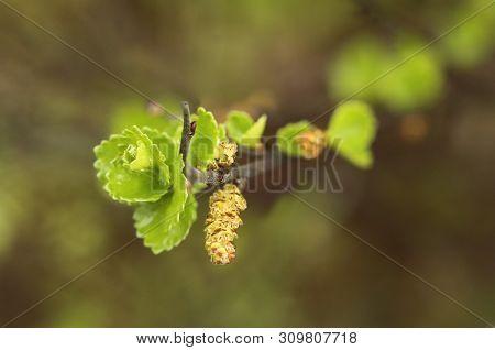 Leaves And Catkins Of Betula Nana, The Dwarf Birch