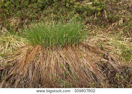 Dense Hassock Of Carex Nigra, The Common Sedge
