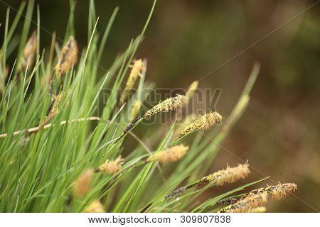 Macro Of Spikes Of Carex Nigra, The Common Sedge