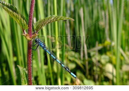 Male Common Blue Damselfly Resting On A Stinging Nettle At A Nature Conservation Area Reservoir In S