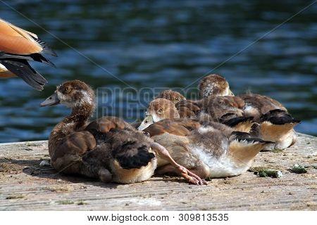 Egyptian Geese Goslings, Late June, 2019, Aylesbury, England : Goslings Resting Together Beside The