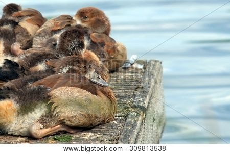Egyptian Geese Goslings , Late June, 2019, Aylesbury, England : Goslings Huddled Together Resting Be
