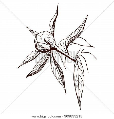 Vector Ink Peony Bud. Engraved Peony Flower In Vintage Style. Floral Branch Line Sketch.highly Detai