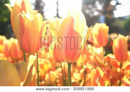 Beautiful Orange Tulips In The Spring Time.