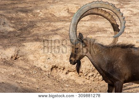 A Head Shot Of A Male Nubian Ibex Standing Showing Off Those Large Curved Horns (capra Nubiana) At T