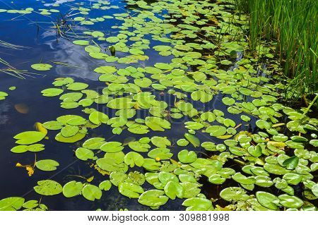 Texture Of Lake River Water With Green Leaves Of Lily Plants, The Back Background Of Blue Pure Natur