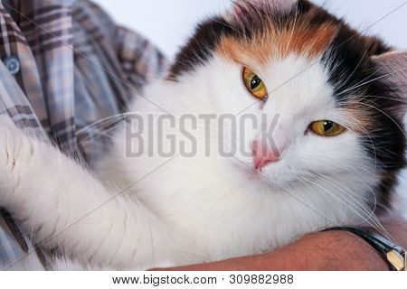 Man With Shirt Holding A Tricolor Cat In His Arms. Close Up Portrait Of A Calico Cat.