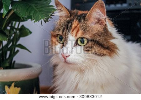Portrait Of A Calico Cat At Home. Calico Cats Are Domestic Cats With A Spotted Or Particolored Coat