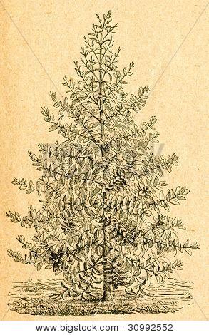 Unga eucalyptus - gammal illustration av okänd konstnär från Botanika Szkolna na Klasy Nizsze, författare