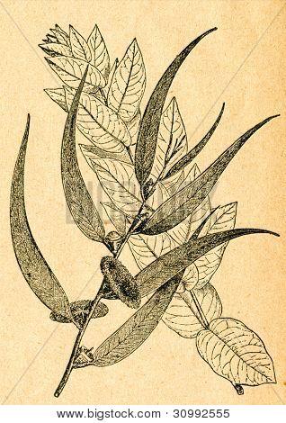 Eucalyptus grenar, från unga och gamla träd - gammal illustration av okänd konstnär från Botanika Szko
