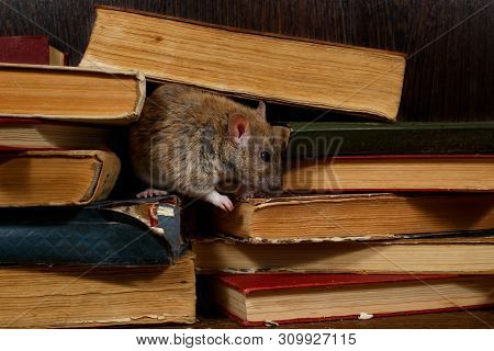 Close-up The Rat (rattus Norvegicus) Rat On The Pile Of Old Books In The Library. Concept Of Rodent