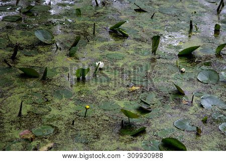 Water Lily Pads Duckweed And Green Algae On A Lake Surface