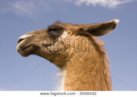 Llama Head Against Blue Sky