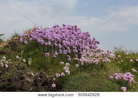 Pretty Pink Wild Sea Thrift Flowers Growing Along The Rugged Coastline Of Cornwall, Uk. Armeria Mari
