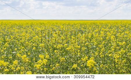 Blooming Canola Field, Background Wallpaper Banner Landscape Panorama. Oilseed Agrarian Culture Of S
