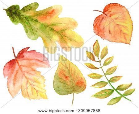 Bright Colors Set Of Watercolor Autumn Leaves. Wild Grapes, Elm, Linden, Oak, Rowan, Pear Isolated O